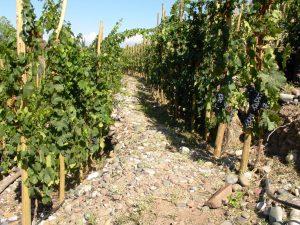 Viñedo de vino de autor